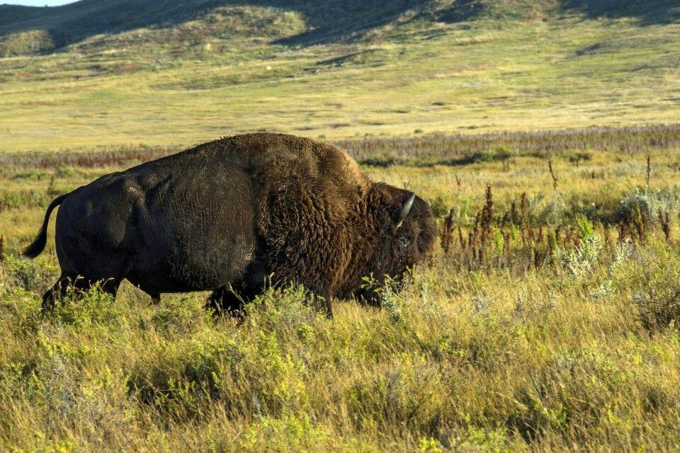 Bison in der Prärie Saskatchewans