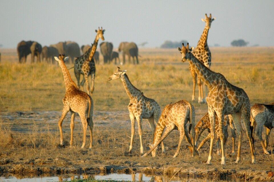 Große Tieransammlungen in den Nationalparks in Botswana