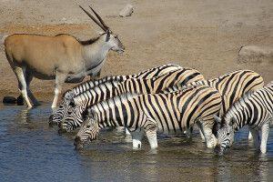 Zebras und Oryx im Etosha-Nationalpark