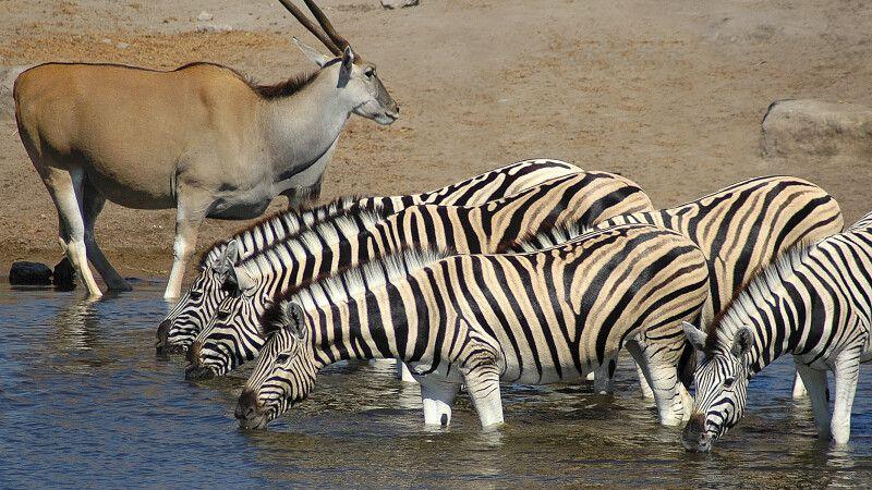 Zebras und Oryx im Etosha-Nationalpark © Diamir