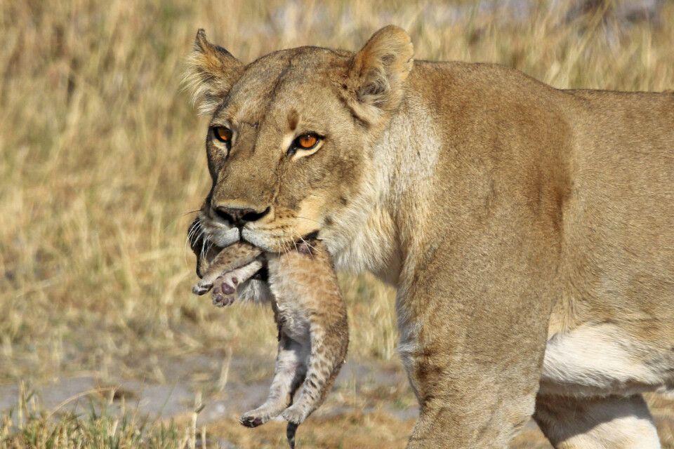 Löwin mit Jungem