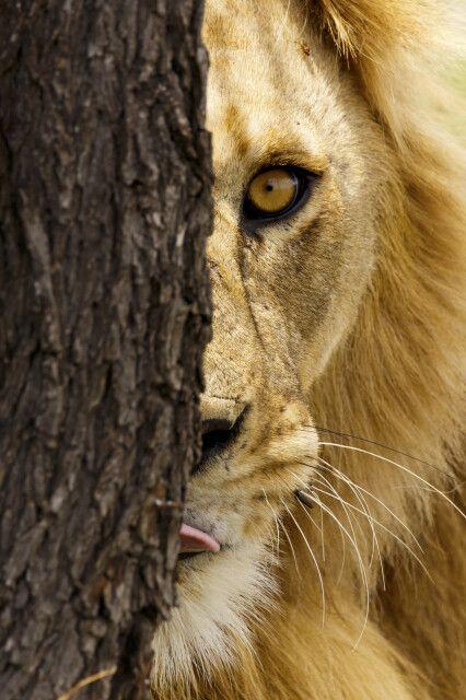 Im Visier eines Löwen