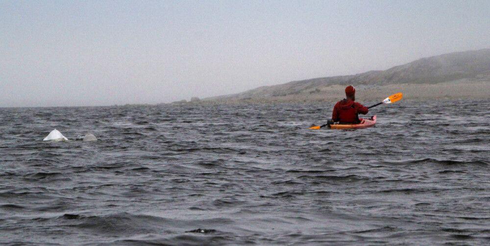 Zutrauliche Belugas beim Kajak-Ausflug