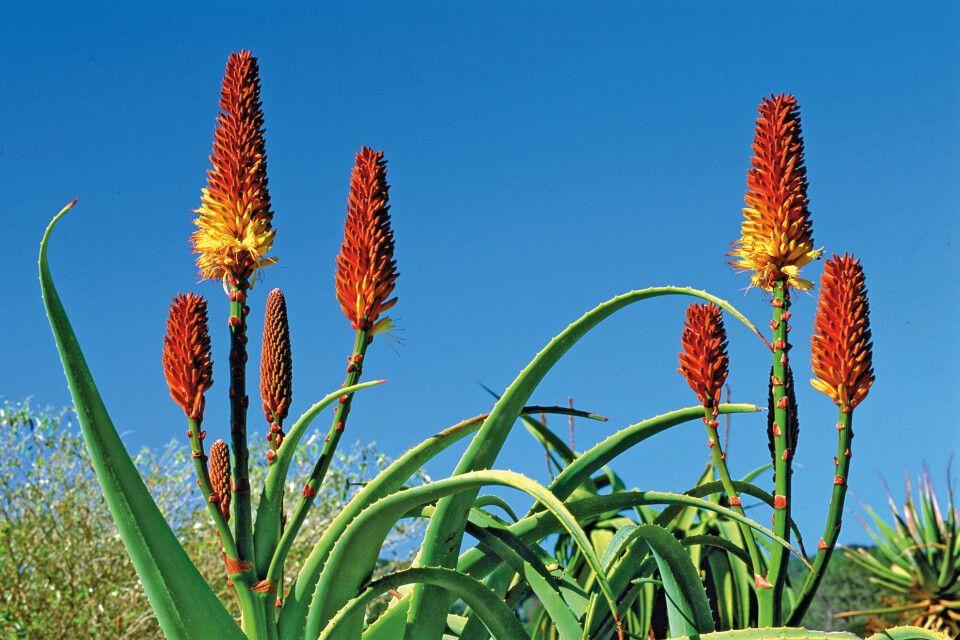 Farbenfrohe Aloe