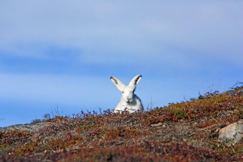 Schneehase in herbstlicher Tundra