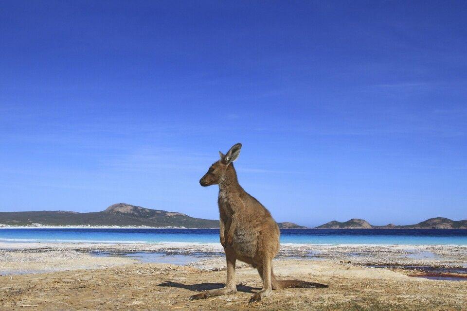 Känguru Lucky Bay