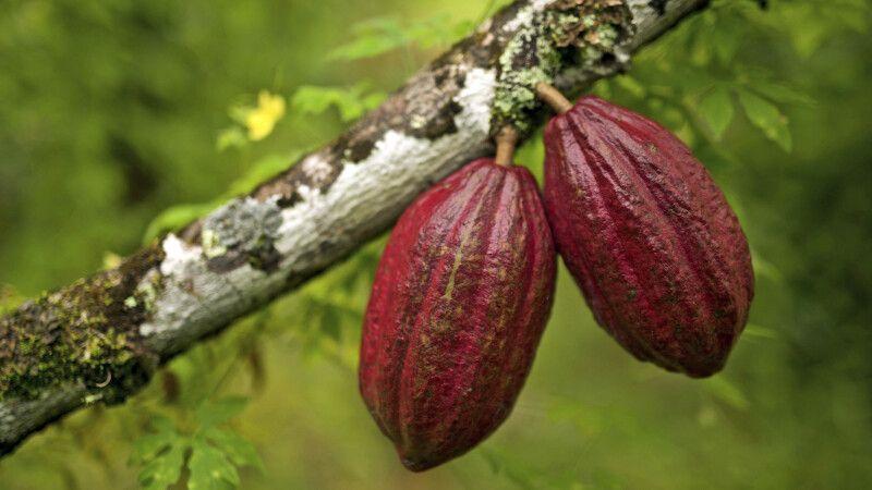 reife Kakaofrüchte am Baum © Diamir