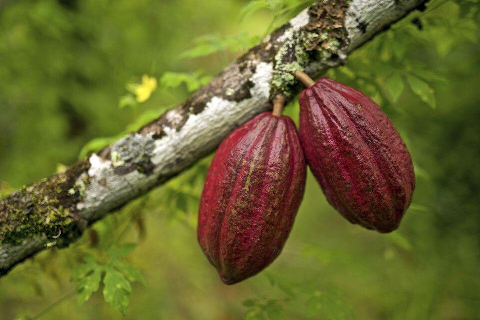 reife Kakaofrüchte am Baum