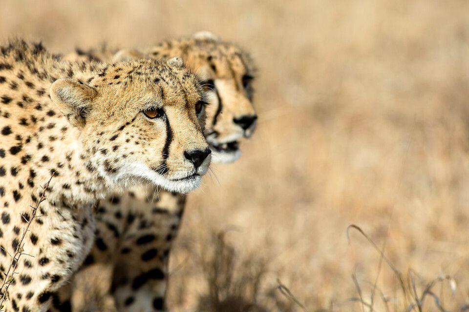 Geparden  im Krüger-Nationalpark