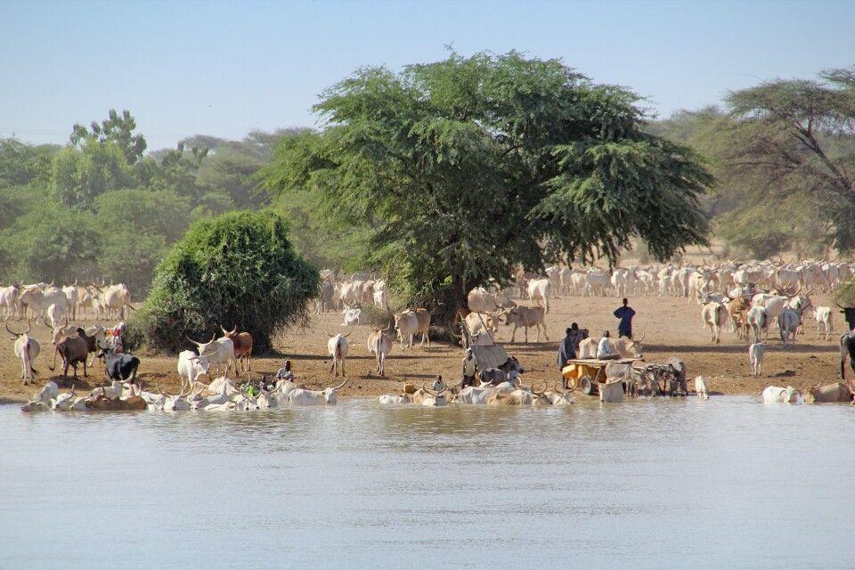 Viehmarkt am Ufer des Senegal Fluss