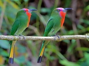 Rimba Ecolodge Padang, bunte Vögel