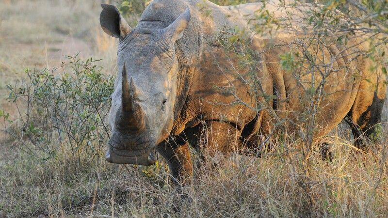 Breitmaulnashorn, Mkhaya Game Reserve, Swaziland © Diamir