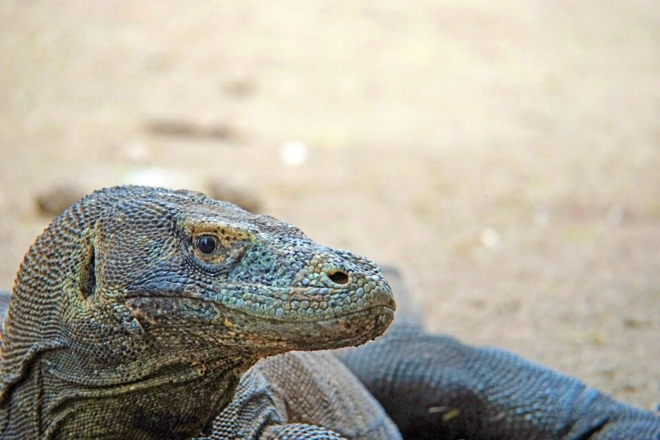 Komodo-Waran auf Rinca