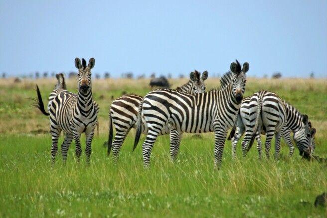 Zebraherde im Liuwa-Plains-Nationalpark
