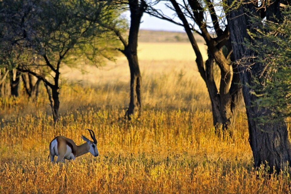 Antilope im Chobe-Nationalpark