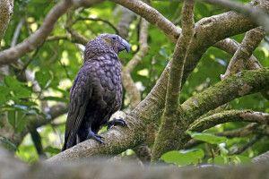 Ein Kaka in Zealandia