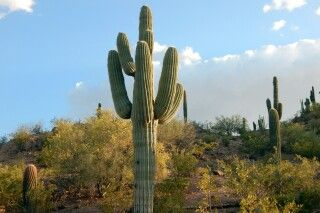Saguaro Kaktus, Saguaro NP, Arizona
