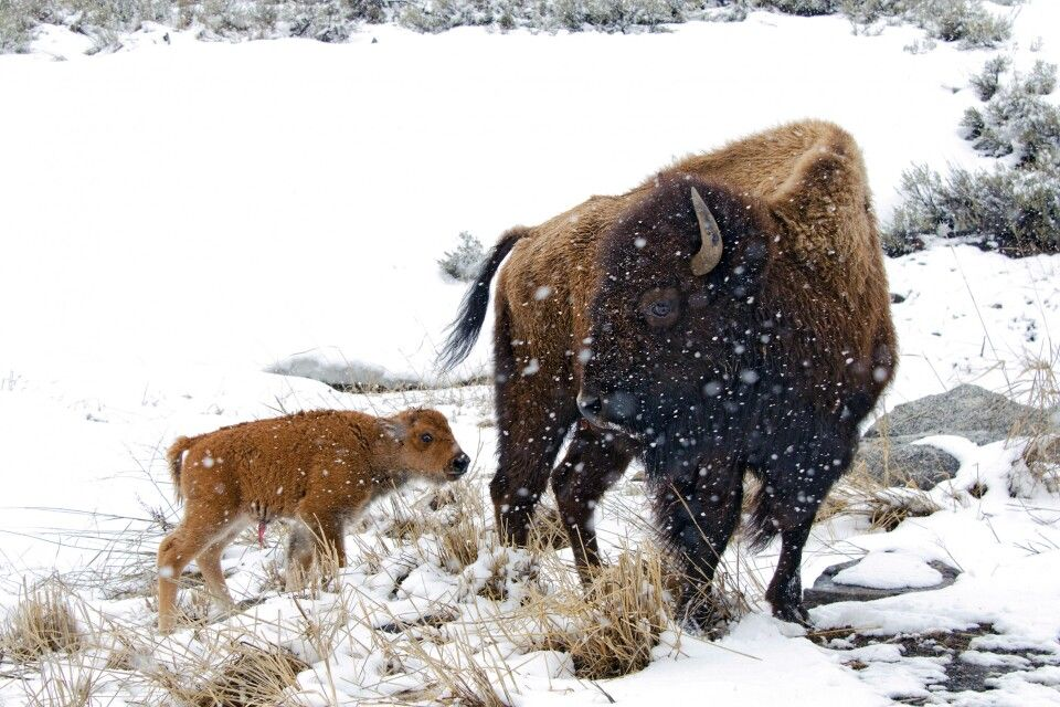 Bison Mutter mit Jungem, Yellowstone NP im Winter