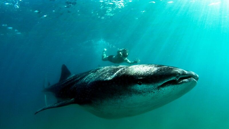 Schwimmen und Schnorcheln mit Walhaien vor der Küste Inhambanes © Diamir