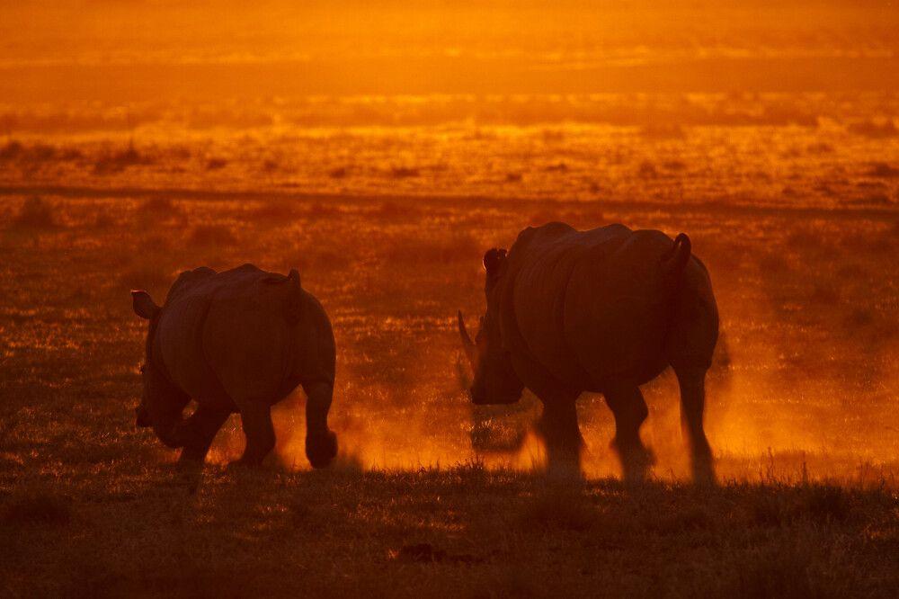 Breitmaulnashörner im Sonnenuntergang