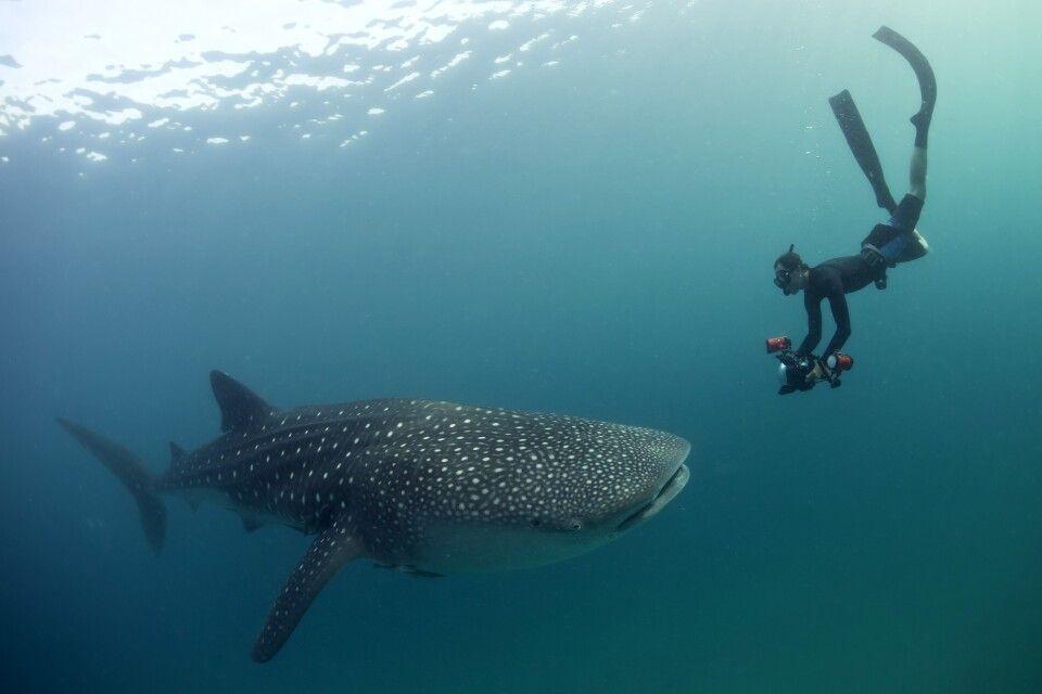 Schnorcheln mit Walhaien vor Mafia Island