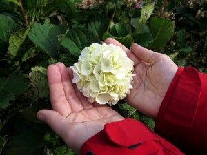 Hortensien findet man überall