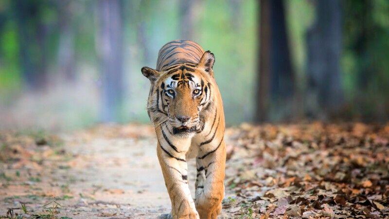Bengalischer Tiger © Diamir