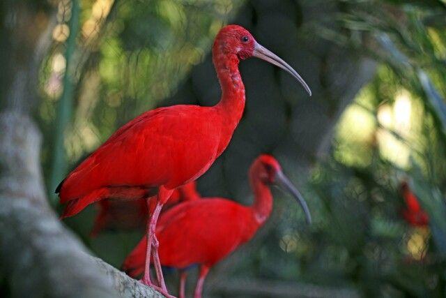farbenfroher Scarlet Ibis, Nationalvogel von Trinidad & Tobago