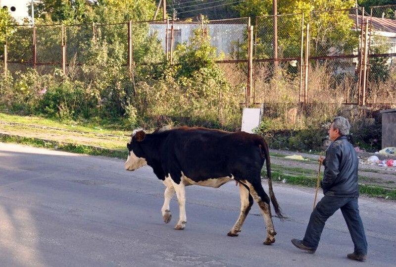 Auf dem Weg zum Kühe-hüten