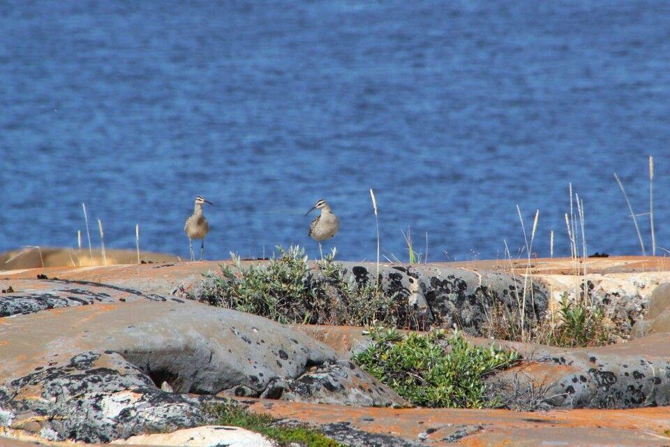 Brachvögel am Ufer