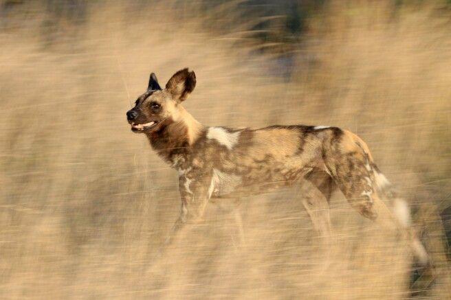 Wild Dog auf der Pirsch