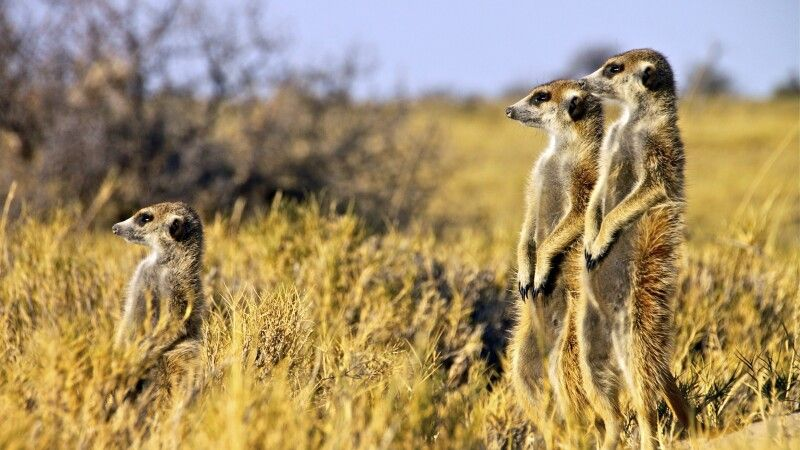 Erdmännchen in den Makgadkgadi Pansi © Diamir