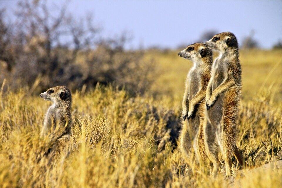 Erdmännchen in den Makgadikgadi Pans