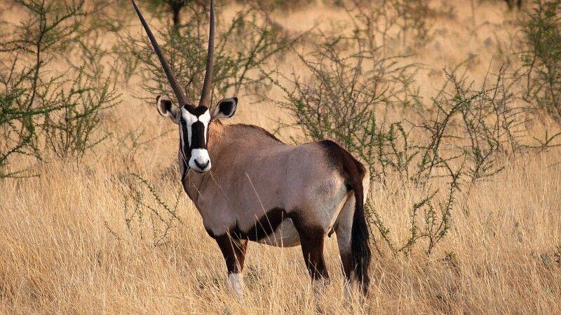 Namibia, Etosha Park, Oryxantilopen © Diamir