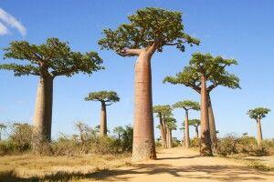 Baobab-Allee bei Morondava