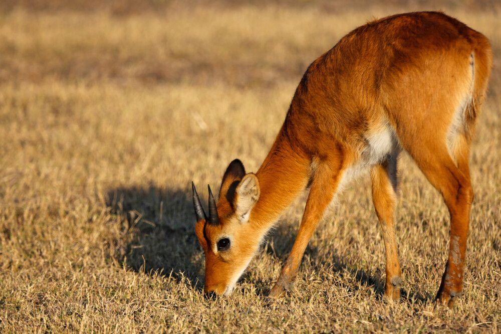 Antilope im South Luangwa-Nationalpark