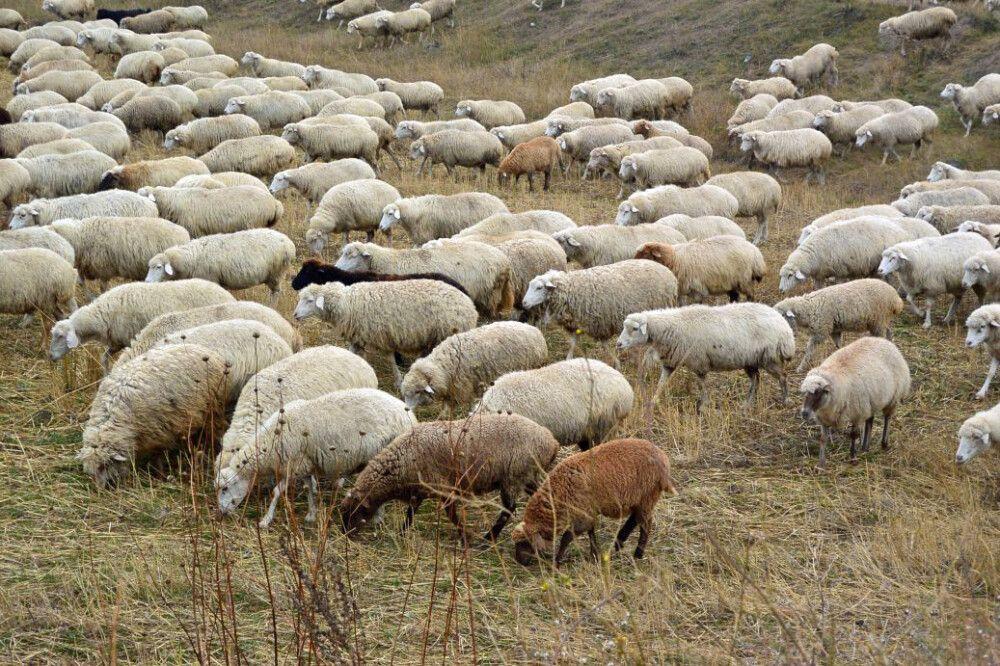 Schafe am Wegesrand zur Karawanserei