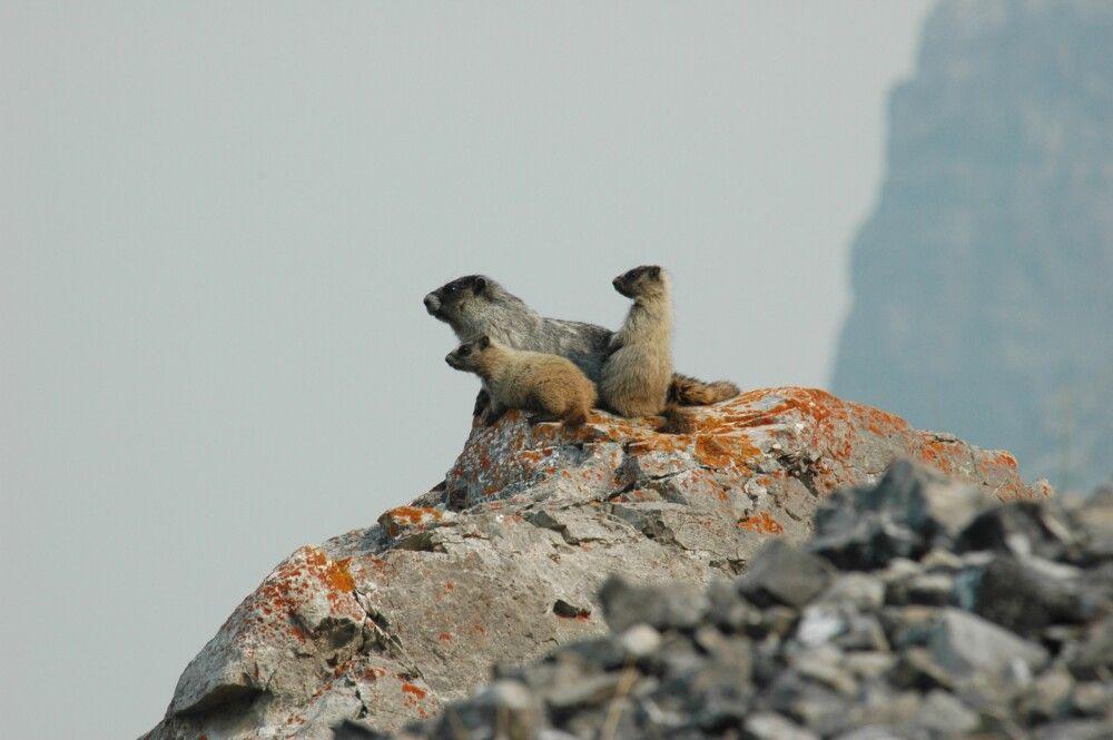 Die Murmeltiere beobachten genau das Geschehen