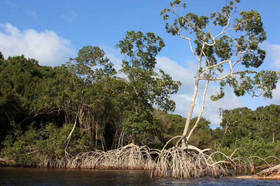 Mangrovenartiger Bewuchs