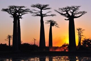 Baobabs in der Abendsonne