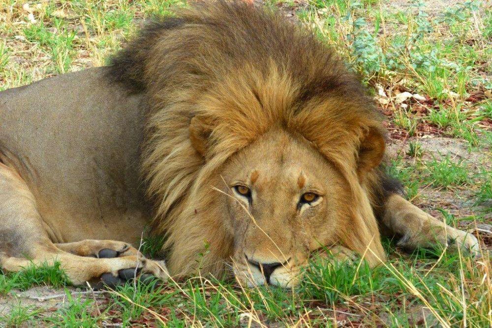 Löwe am Entspannen