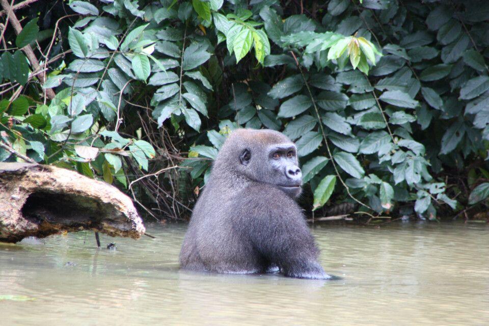 Affe nimmt ein Bad