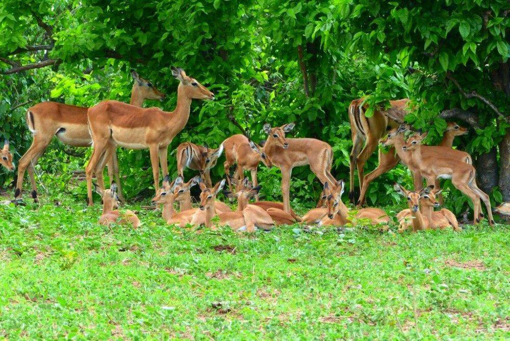 eine Herde Impalas im Busch