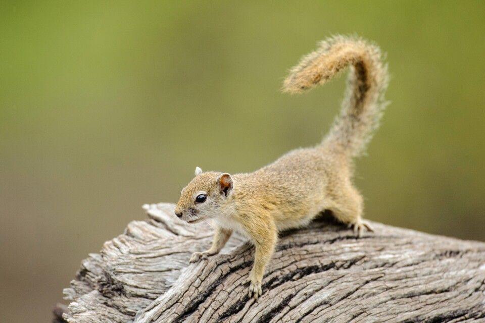 Baumhörnchen