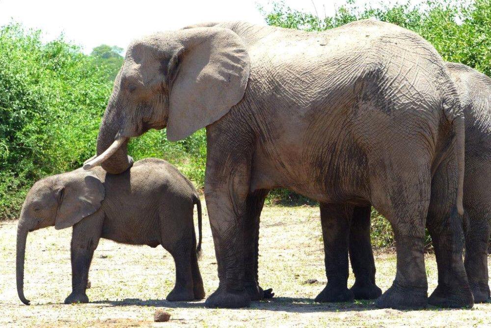 Elefantenkalb und ausgewachsener Elefant dahinter