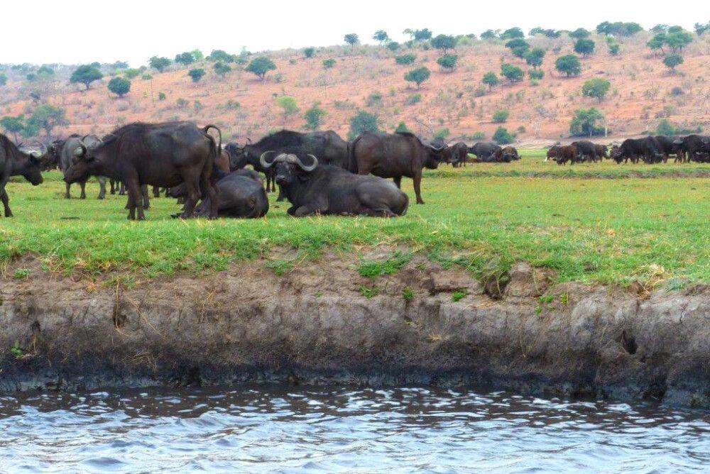 Büffelherde am Wasserloch