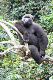 Gorilla am Entspannen