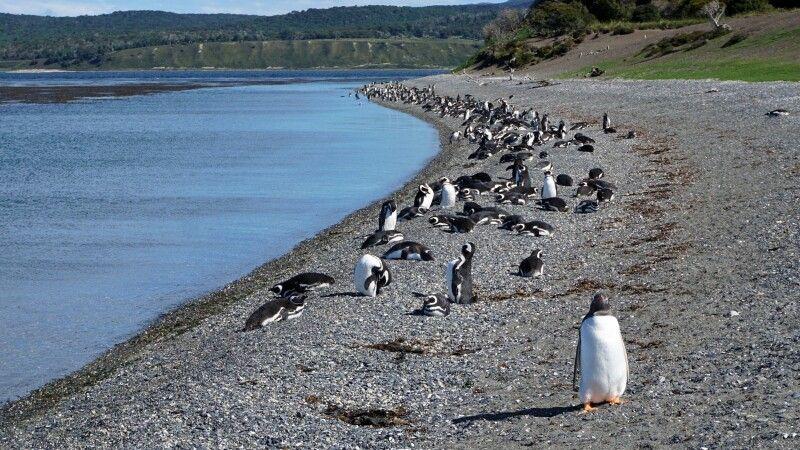 Bei den Magellanpinguinen auf der Isla Martillo © Diamir