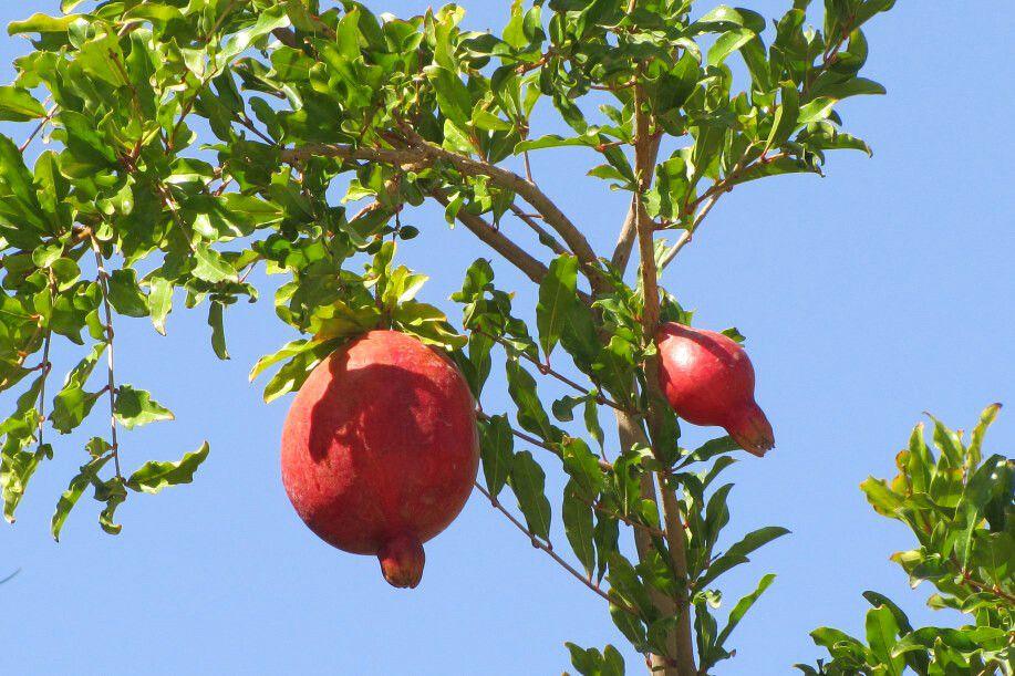 Kerman: Granatapfel am Feuertempel