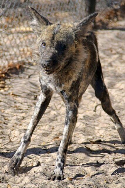 Hwange NP: Wildhund im Painted Dog Conservation Centre
